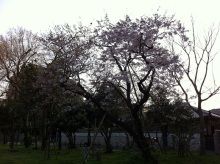 スタッフエージェントの軌跡-大濠公園 桜3.31