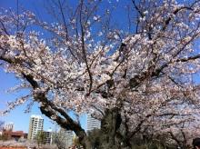 スタッフエージェントの軌跡-舞鶴公園 桜